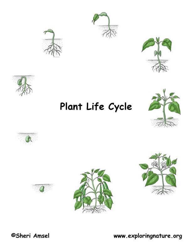 Life cycle of a plant to make black and white copies for for Soil facts ks2