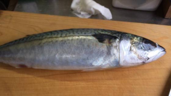 ワイ、サバを捌いてしめ鯖をつくる(画像あり)
