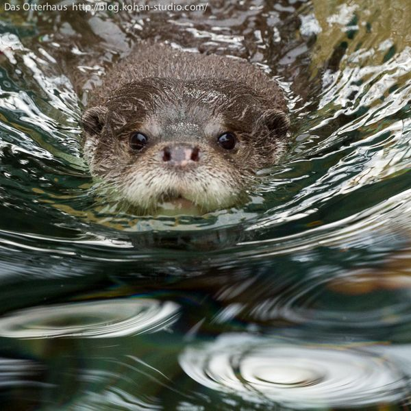 Here comes otter, straight at the camera - January 15, 2014