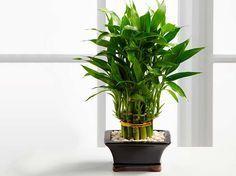 Bambú de la suerte, ¿por qué es bueno tener uno en casa?