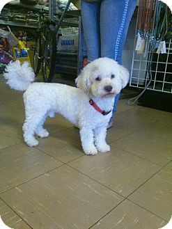 Las vegas nv bichon frise meet astro a dog for for Dog rescue las vegas nv