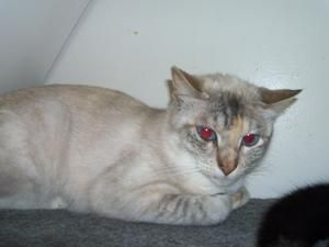Bonnie Blue is an adoptable Siamese Cat in Jasper, TX. Bonnie Blue is a yr and a half old, spayed with all her shots. Bonnie Blue with her BEAUTIFUL BLUE EYES is shy and would do better with an older ...