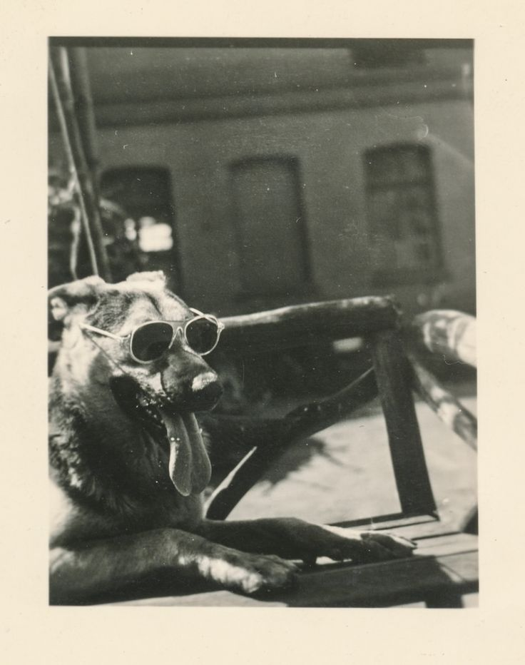 Cool dog wearing sun glasses, ca. 1940s