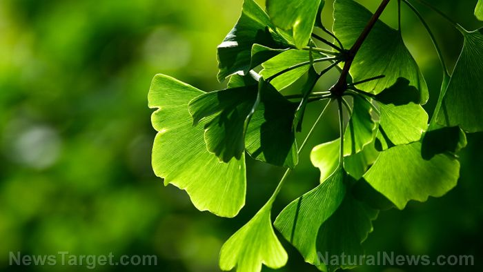 Young, active men may greatly benefit from taking extracts from Ginkgo biloba leaves, according to a study published online in Nutrients.  To carry out the study, Polish researchers at the Jerzy Kukucza Academy of Physical Education and the Poznan University of Physical Education examined 18 young