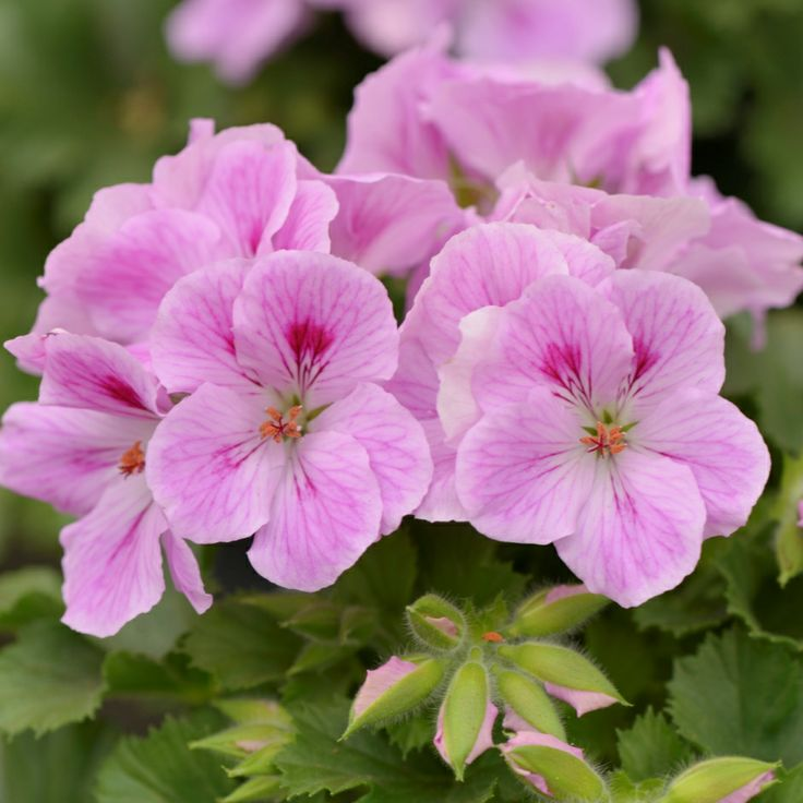 17 best images about geraniums erodiums pelargoniums on pinterest geranium phaeum geranium - Different types pelargoniums ...