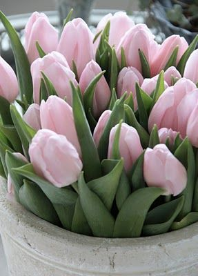 Pale pink tulips
