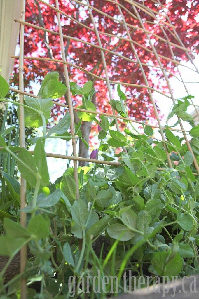 Easy Pea Trellis - how to make a DIY trellis for peas or beans with only one material! A fun a simple project for the garden.