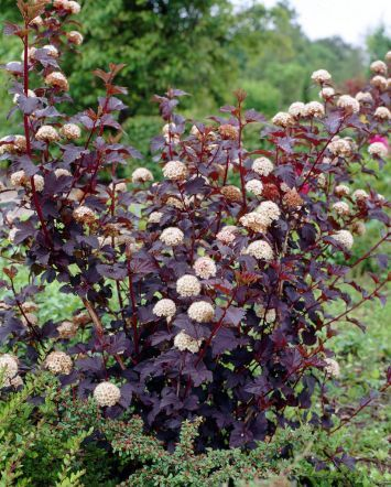 Physocarpus opulifolius 'Diabolo' (Blaasspirea), donker blad, kleine komvormige bloempjes, makkelijke, mooie heester, witte bloemen steken prachtig af tegen donker blad, na bloei rode vruchtjes Boom kea
