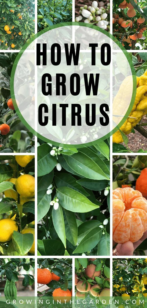How To Grow Citrus Trees Citrus Trees Growing Citrus Growing Fruit Trees