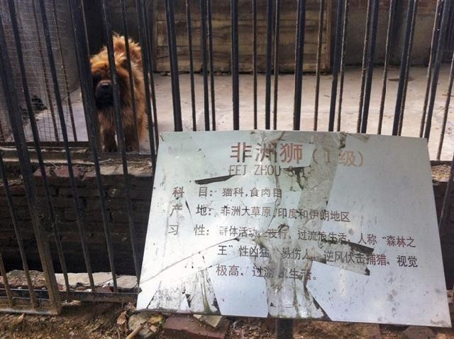 """""""IL LEONE CHE ABBAIA"""", TRUFFA ALLO ZOO DI PECHINO [VIDEO] http://www.digita.org/il-leone-che-abbaia-truffa-allo-zoo-di-pechino-video/"""