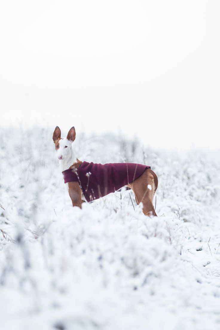 Voyagers K9 Apparel Burgundy Maroon Tummy Warmer Mango the Ibizan Hound Dog in the Beautiful Outdoors