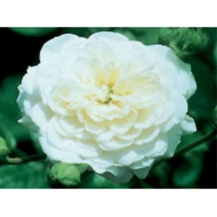 Silver 25th Anniversary Standard Rose - has a new #review on: https://www.gardencentreguide.co.uk/product/273066/silver-25th-anniversary-standard-rose/reviews#review-60865 - @gcguide
