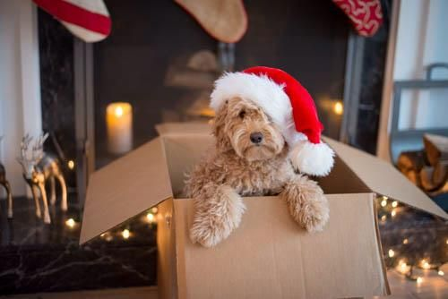 Santa Doodle is an F1b Small Goldendoodle