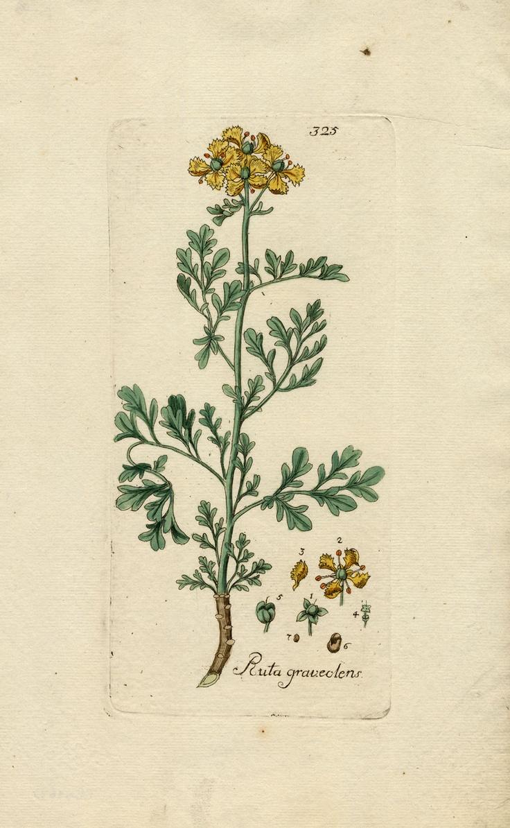 RARE Antique Print Rue Ruta Graveolens Happe 1788 | eBay
