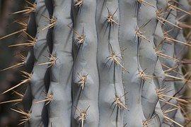 Cacto, Espinhos, Planta, Espinhoso