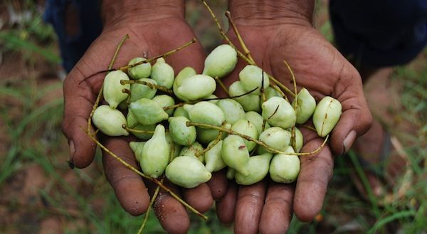 Gubinge: the Australian Indigenous Superfood and the highest natural source of Vitamin C on the planet