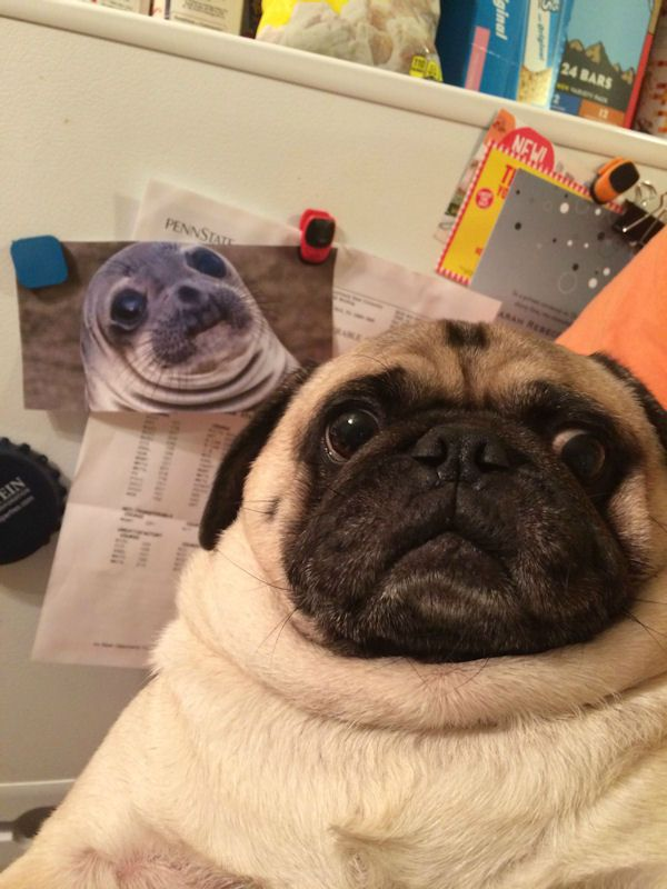 insolite carlin chien phoque ressemblance