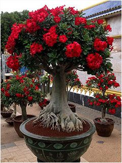 red flowers bonsai.