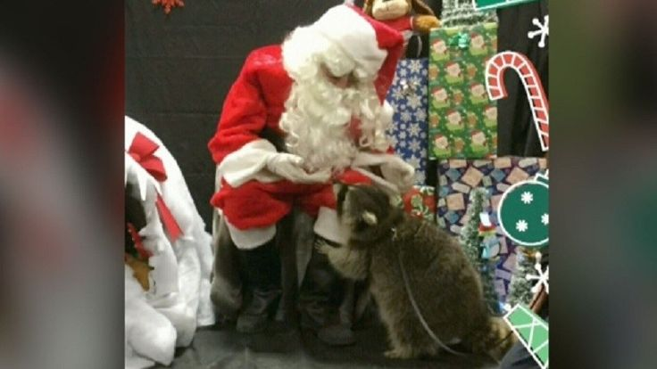 Raccoon Named 'Rambo' Nursed Back To Health, Poses With Santa (VIDEO)