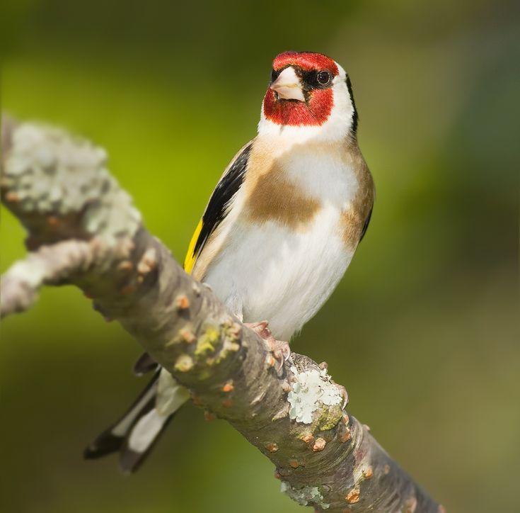 El jilguero es un ave paseriforme perteneciente a la familia de los fringílidos, común en el paleártico occidental.
