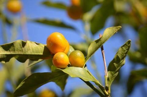 4月29日【タチバナ(橘)】学名:Citrus tachibana別名:ヤマトタチバナ、ニッポンタチバナ形態:常緑広葉樹 樹高:小高木分類:ミカン科花色:白色使われ方:庭木などとして使われています。京都御所紫宸殿では「右近橘(うこんのたちばな)、左近桜(さこんのさくら)」として橘が植えられていますね。その実や葉、花は文様や家紋のデザインに用いられ、1937年に制定された文化勲章にも橘がデザインされています。私がよく散策する皇居東御苑にも、立派な橘の木があります。直径3センチほどの実は、ほんとうにかわいらしいです。機会があれば、是非訪れてみてください。