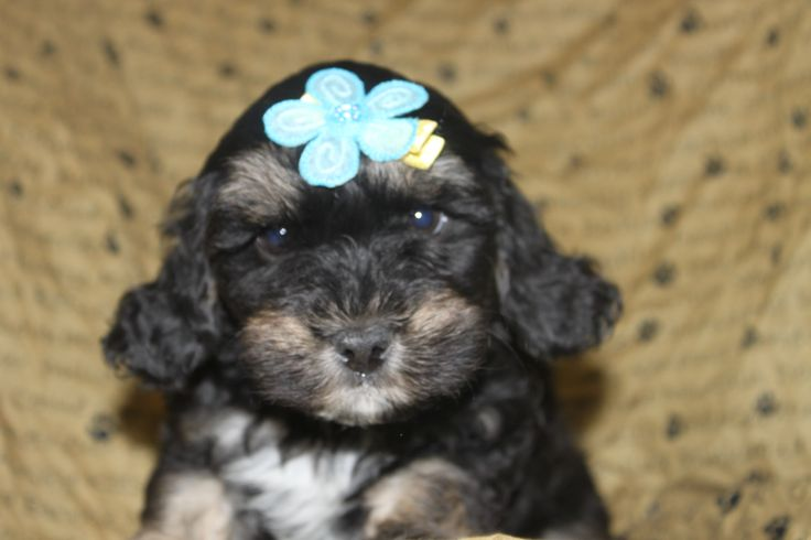 This is Max a male cockapoo puppy at http://www.network34.com/dogsbreed/cockapoo-puppies-for-sale-pa-md-ny-nj-dc/