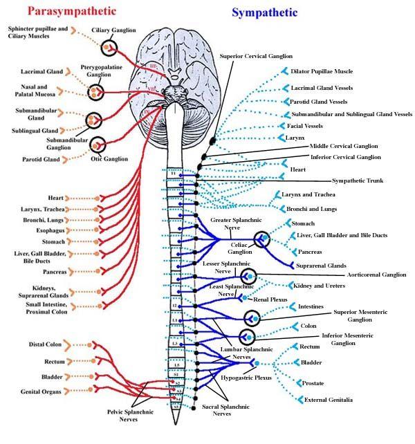 21 best images about Nervous System Diagram for Kids on Pinterest ...