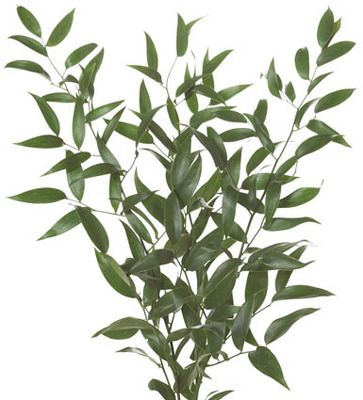 Ruscus, Italian - BUNCH from Boulevard Florist Wholesale Market