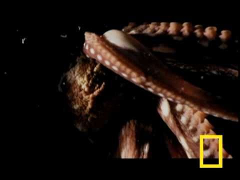 Truth be told, I rarely link to National Geographic made-for-tv videos because narrators that sound like this are one of my major pet peeves. However, this unusual locomotion video is just too fascinating to not share.    Behold how a boneless, 600lb octopus can fit through such tiny passageways. Another example here (swf/google video).
