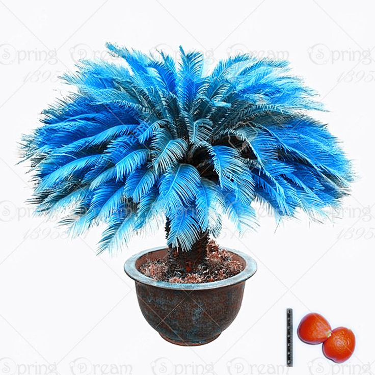1pcs/bag blue Cycas seeds, Sago Palm Tree seeds.bonsai flower seeds,the budding rate 97% rare potted plant for home garden