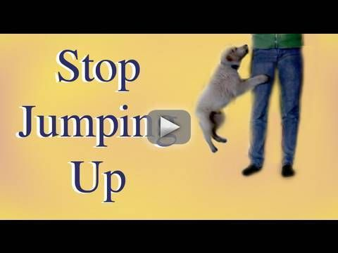 Dog Training: How to stop Jumping up!- clicker dog training - This video goes over some simple exercises on how to teach your dog to stop jumping on you!   Remember! Dogs jump for a reason!  It is either to get your attention, they are over aroused or stressed, or  to acquiesce to you (when the dog tries to get to your mouth to lick it)  Tips: 1-Teach your dog what you want them to do instead of jumping up FIRST 2- Don't reinforce jumping up with attention  3- Proof by creating situations…