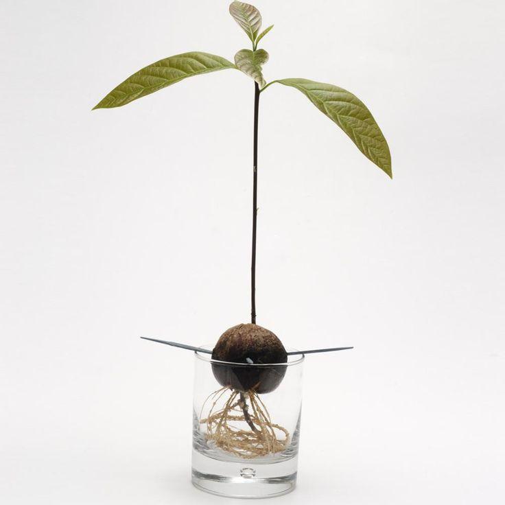 Avocado Kerne Pflanzen