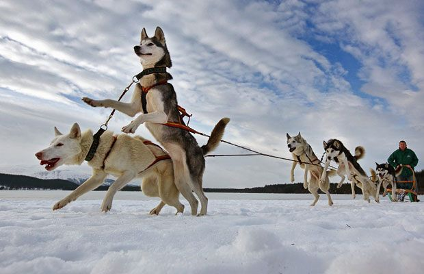 The 27th annual Aviemore Husky Sled Dog Rally beside Loch Morlich in Scotland.