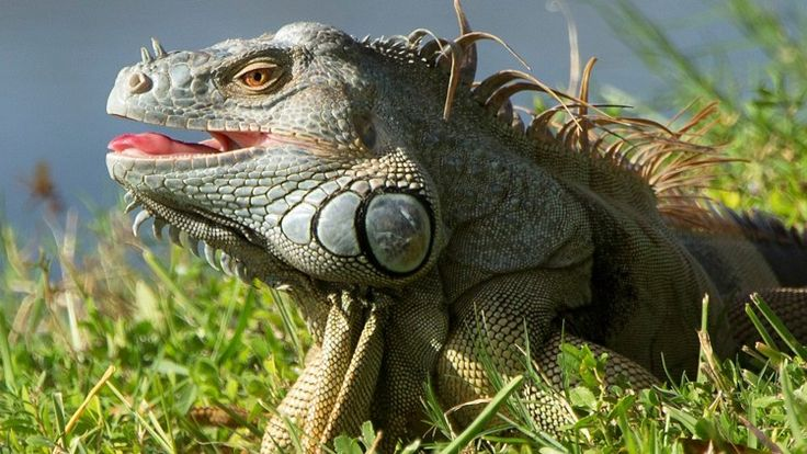 Why are there so many iguanas in Palm Beach County right now?