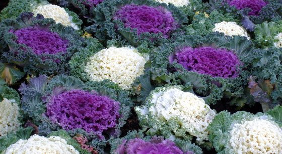 Las flores de Brassica oleracea son utilizadas tanto en arreglos florales como en la jardinería. Pero lo primero que debemos de saber es que en realidad no son flores su atractivo ornamental, sino el color de sus hojas centrales.