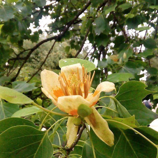 """Маленькое чудо. В парке """"Южные культуры"""" зацвели лилеодендроны (тюльпановое дерево). #лилия #тюльпанчики #тюльпан #тюльпановоедерево #лилиодендрон #цветок #юг #южнаявесна #весна #южныйгород #тюльпаны🌷 {{AutoHashTags}}"""
