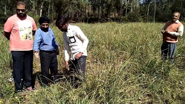 Know about the cultivation process of aromatic grasses such as Lemongrass, Palmarosa and Citonella in this video..