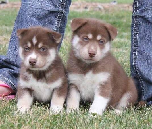 2 chiots husky de siberie. Ils sont chous, pas vrai