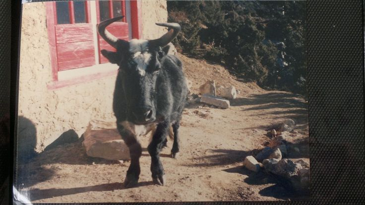 This is Ongden Norbu, a Dzomo. This is a cross between a Yak and a Cow. Gentle and unassuming, this lovely animal provided the milk for the care takers of Lawudo Monastery in the 1980,s... http://www.amazon.com/Awareness-Comes-Knocking-Story-Shades-ebook/dp/B00B5PP6CQ