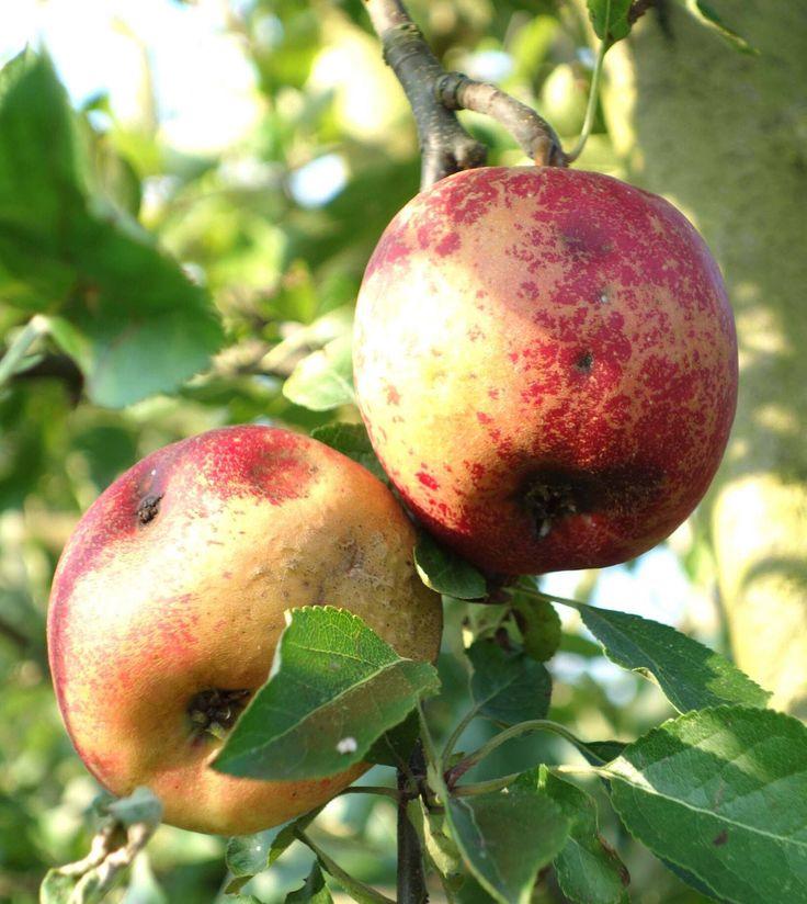 Comment prévenir ou traiter les pommiers, les moyens de prévention et de traitement du pommier : carpocaspe, ver de la pomme, oïdium, tavelure