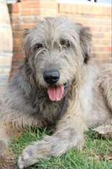 Irish Wolfhound puppies | puppies for sale Glossodia New South Wales | Irish Wolfhound dogs for sale in Australia - http://www.pups4sale.com.au/dog-breed/444/Irish-Wolfhound.html
