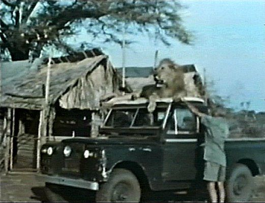 George lifting Boy's paw so he can close the door of his Land Rover without hurting Boy. Bill Travers (on the other side of the Land Rover), had to lift Boy's tail to close his door!