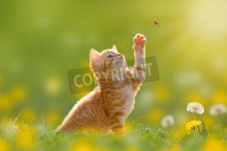 若い猫/子猫のバックライトとてんとう虫を狩猟