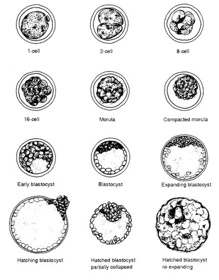 embryo stages