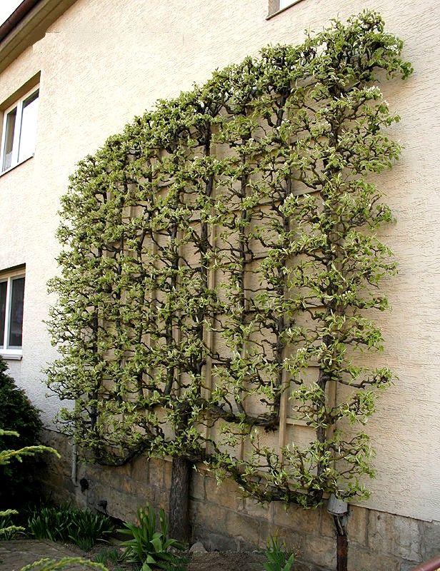 1000 ideas about porte greffe on pinterest fruit trees for Porte greffe