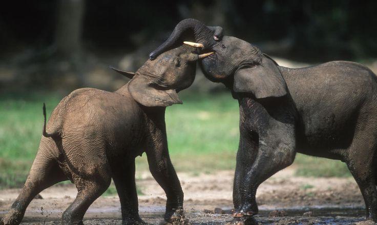 Loxodonta africana cyclotis, Forest elephant. Sub-adults play fighting. Dzanga Bai. Dzanga-Ndoki National Park, Central African Republic (CAR)