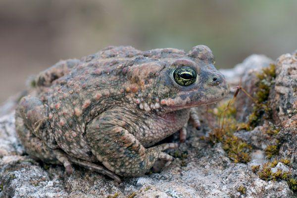 Natterjack Toad  Bufo calamita