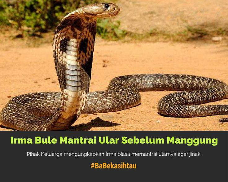 #BaBekasihtau Irma Bule Biasanya Mantrai Ular Sebelum Manggung https://app.babe.co.id/read/6395036/irma-bule-biasanya-mantrai-ular-sebelum-manggung
