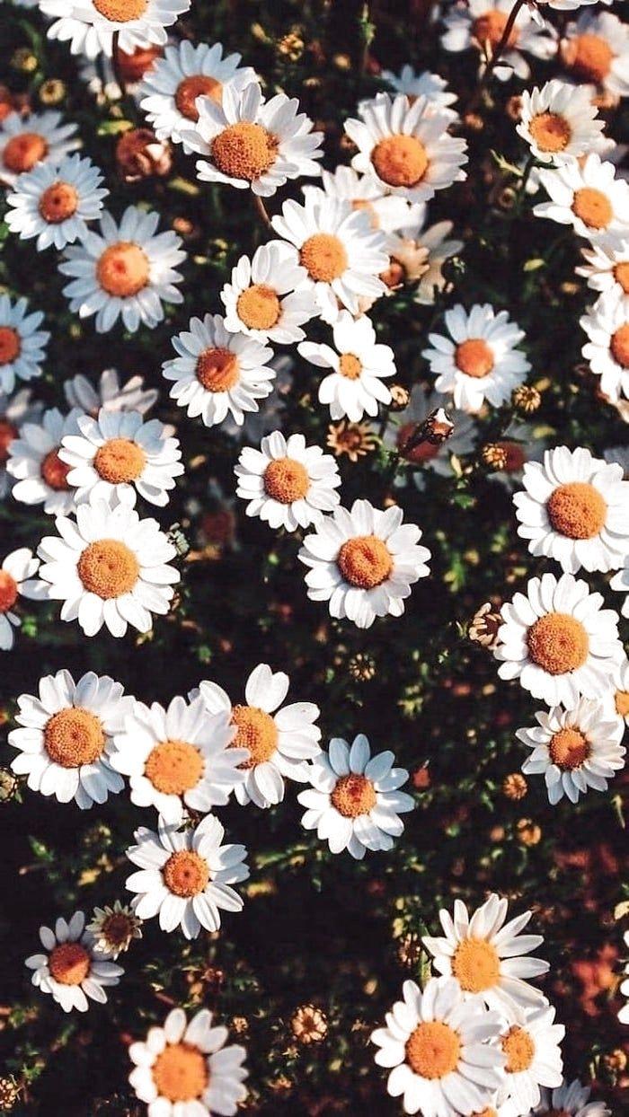 weiße Gänseblümchen, rosa iphone Tapete beautifulflowers