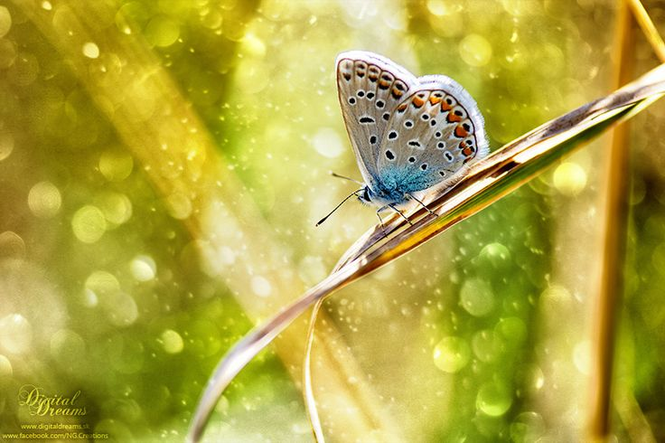 Polyommatus icarus by Norbert G on 500px